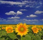 Golden sunflowers. Field under the blue summer cloudy sky Stock Photography