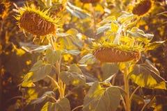 Golden sunflowers Stock Photo