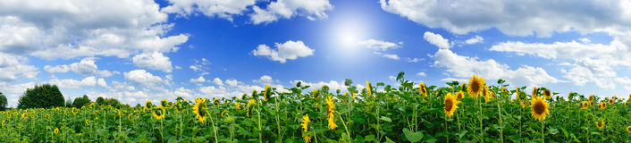 Golden sunflowers plantation. Stock Photography