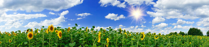 Golden sunflowers plantation. Royalty Free Stock Images