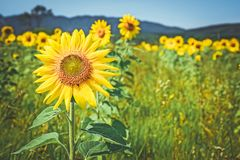 Golden sunflowers in the summer field stock photo