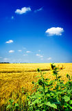 Golden sunflowers and wheat  field. Royalty Free Stock Photography