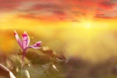Golden sunlight on beautiful spring flower crocus growing wild. Dramatic sunrise with wildgrowing spring flower crocus. royalty free stock images