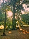 Golden sunlight. The golden sunlight through trees is seen Stock Photos