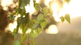 Golden sunlight in green tree in summer. Sun beams through tree. Close-up of sun glare in the tree foliage. Golden sunlight in green tree in summer. Tree at stock video footage
