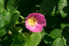 Golden sunlight on the lush foliage and young pretty floret of pink dogrose, covered with rain droplets. Cheerful rich colors of nature and bright sunlight royalty free stock photo