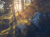 Golden sunlight shining through fir trees stock photography