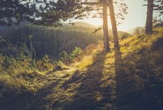 Golden sunlight shining through fir trees royalty free stock photography