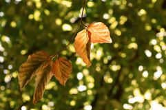 Golden Beech tree leaves in Autumn / Fall stock images