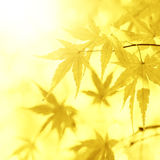 Golden sunny blurred leaves background Royalty Free Stock Images