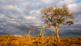 Golden sunrise in the african bush. Glowing Acacia tree hit by sunlight against dramatic sky. Landscape in the Kruger National Par Royalty Free Stock Photos