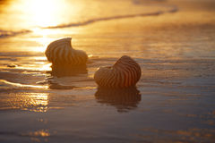Golden sunrise and nautilus shells in the sea Royalty Free Stock Images