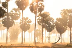 Golden sunrise shines down around Asian Palmyra palms on the ric. Golden sunrise shines down around Asian Palmyra palms or Sugar palms on the rice field Stock Image