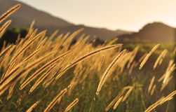Golden sunset in African savannah, grass lit in evening back light Stock Photo