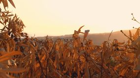 Golden sunset with autumnal leaves stock video