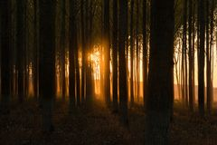 Dark, mystic  forest with golden sunset behind the trees stock photography