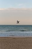 Golden sunset light with a flying sea bird flying in the sky at the beach with sand in Europe Stock Photography