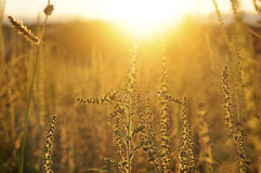 Golden sunset on the meadow and ambrosia weed Royalty Free Stock Image