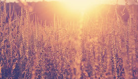 Golden sunset on the meadow and ambrosia weed Royalty Free Stock Photography