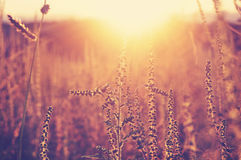 Golden sunset on the meadow and ambrosia weed Stock Photography