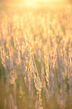 Golden sunset on the meadow Stock Images