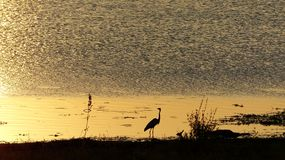 Golden sunset mirroring at a waterhole with a black silhouette of a goliath heron. And some grass at the foreground, very poetic evening atmosphere at the Royalty Free Stock Image