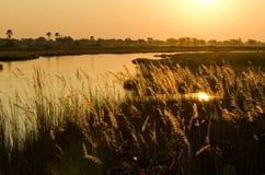 Sunset over the Okavango Delta in Botswana. A golden sunset in the Okavango delta lights up reeds Royalty Free Stock Image