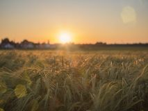 Field of wheat with golden sunset royalty free stock photo