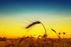 Golden sunset over harvest field Stock Images