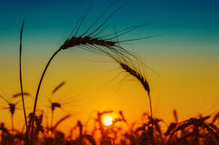 Golden sunset over harvest Royalty Free Stock Photo