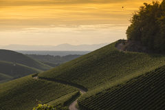 Golden sunset over vineyard landscape Royalty Free Stock Image
