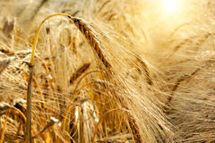Golden sunset over wheat field Royalty Free Stock Image