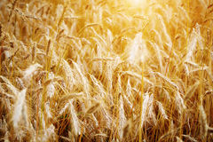Golden sunset over wheat field. Stock Images