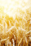 Golden sunset over wheat field. Stock Photos