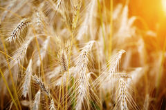 Golden sunset over wheat field. Stock Photos