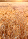 Golden sunset over wheat field. Outdoors Royalty Free Stock Photography
