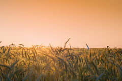 Golden sunset over wheat field Stock Photos