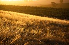 Golden Sunset Over Wheat Gtass field. Golden yellow wheat grass field at sunset Stock Image