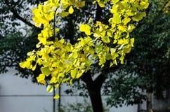 Golden sunshine and ginkgo tree Stock Photos