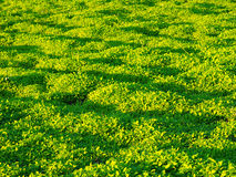 Golden sunshine on green grass Royalty Free Stock Photo