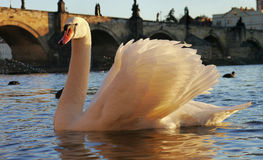 Golden swan Stock Photography