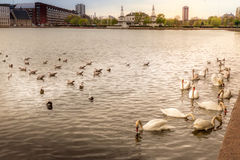 Golden swans swimming in calm waters with city in background Royalty Free Stock Photo