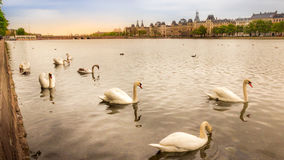 Golden swans swimming in calm waters with city in background Stock Photography