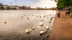 Golden swans swimming in water in city Royalty Free Stock Photography
