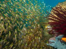 Golden Sweeper. Wide-angle shot of school of Golden Sweeper flowing over coral reef Royalty Free Stock Photos