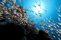 Golden sweepers and ocean. Taken in the red sea Stock Image
