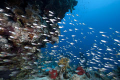 Golden sweepers, ocean and coral. Taken in the Red Sea Stock Images