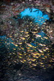 Golden Sweepers in Reef Grotto. A school of Golden sweepers (Parapriacanthus ransonneti) hover in a dark hole on a tropical Pacific coral reef Stock Photo