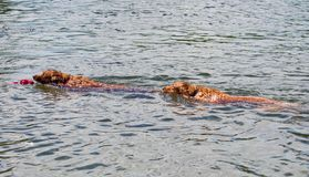 Golden Swim Race Stock Image