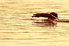 Golden swimmer royalty free stock photo